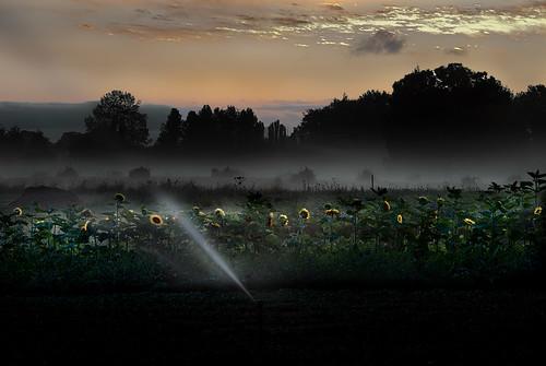 life light sun water oregon dawn farm sunflowers choice roads confusion decision sprinklers sauvieisland vigor