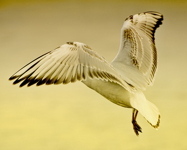 WINGS OF A GULL.