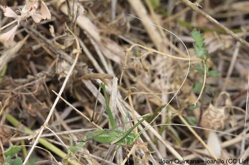 Tylopsis lilifolia (nimfa) (nimfa, nymph) | by Joan Quintana (joanillo)