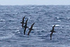 011061-IMG_6241 Short-tailed Shearwaters (Ardenna tenuirostris) by ajmatthehiddenhouse