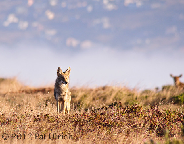 Coyote in Point Reyes