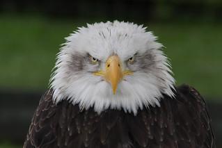 bald eagle | by Leo Reynolds