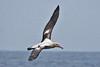 010004-IMG_8141 Short-tailed Albatross (Phoebastria albatrus) by ajmatthehiddenhouse