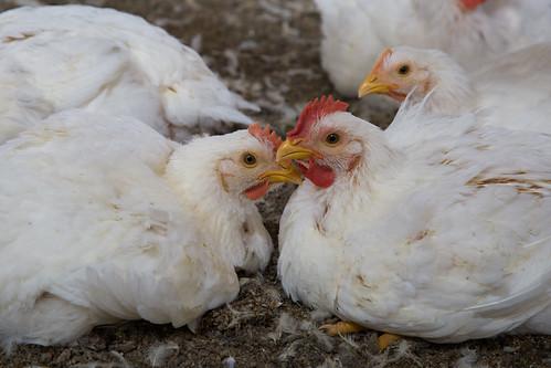 Investigación en industria de pollos de México