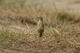 Рисовый конек, Anthus rufulus rufulus, Paddyfield Pipit | by Oleg Nomad