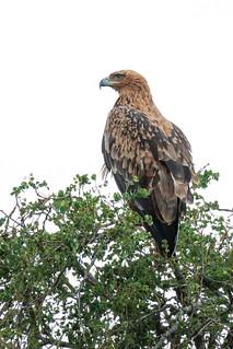 Tawny Eagle or Wahlberg's Eagle?