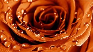 rose-1920x1080-4k-hd-wallpaper-drops-dew-flower-4700 | by edirnekanki