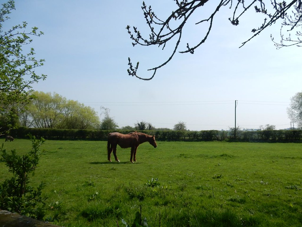 Horse in a field Bekesbourne to Sturry