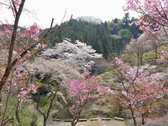 多摩森林科学園の桜保存林