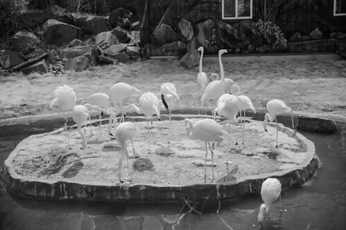 Pink Flamingos at the Maryland Zoo, as depicted by reflected infrared light. | by Bill A