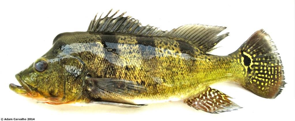 Perciformes: Cichlidae