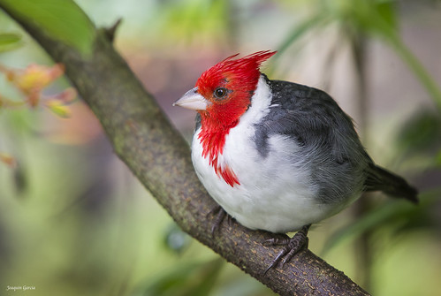 The red-crested cardinal (Paroaria coronata) | by surferjaws