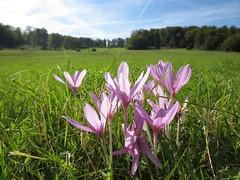 Colchicum autumnale - Photo (c) Jan, μερικά δικαιώματα διατηρούνται (CC BY-SA)