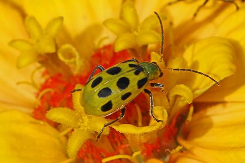 Spotted Cucumber Beetle - Diabrotica undecimpunctata, Meadowwood Farm SRMA, Mason Neck, Virginia | by judygva