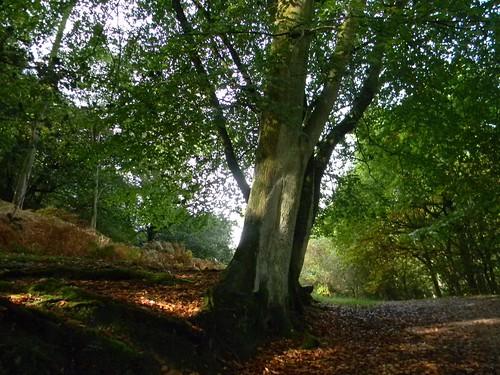 Stately Tree , Nymans Balcombe Circular