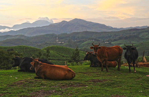 sunset india cow tea kerala munnar