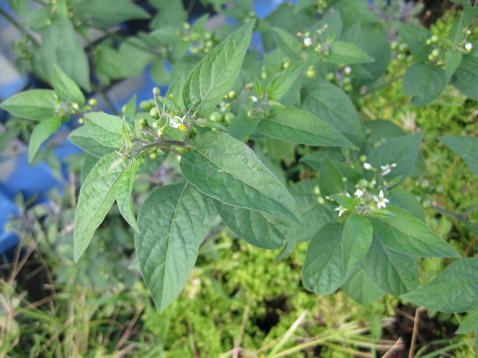 glossy nightshade (Solanum americanum)