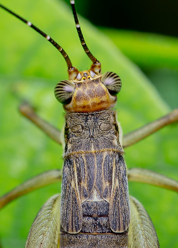 macro nature animal closeup fauna insect bugs cricket k5 macrophoto serangga cengkerik diyflashdiffuser nisitrusvittatus smcpentaxdfamacro100mmf28wr pentaxk5 hishammarmincom hishammarmin af160fcautomacroringflash
