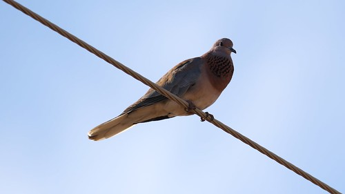 Laughing Dove, (Streptopelia senegalensis) | by Laurent Esselen