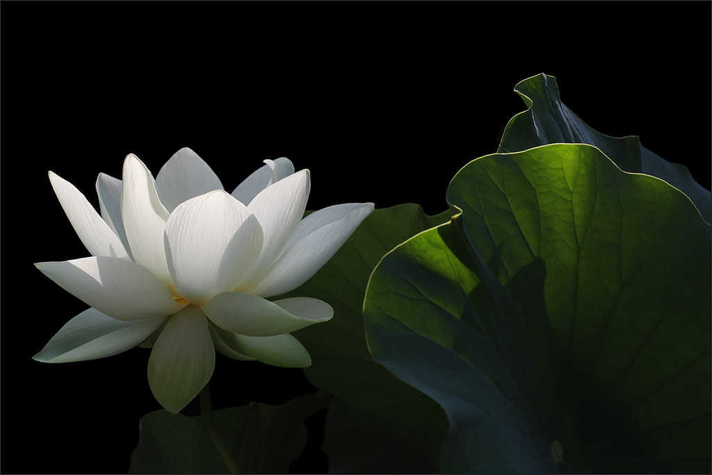White Lotus Flower On Black Background Dd0a0039 1000 Flickr