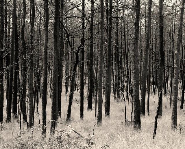 Burnt Trees, Bastrop, Texas