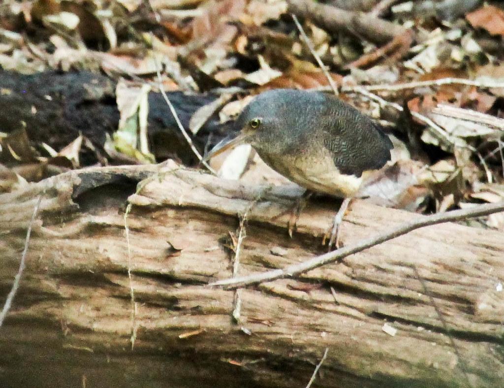 Zickzackreiher, Zebrareiher, Zigzag Heron (Zebrillus undulatus), NGID700725466
