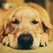 Evening snooze by Brady the Golden Retriever