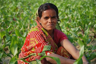 Farmer weeding maize field in Bihar, India | by CIMMYT