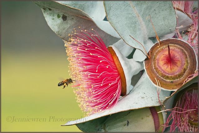 Bee visiting Eucalyptus macrocarpa ~Explored~