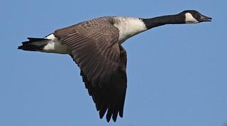 2010 10 07_Canada Goose