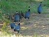 Crested Guineafowl, Southern Crested Guineafowl (Guttera pucherani) (Guttera edouardi) (Guttera eduardii) (Guttera pucherani edouardi) by Francisco Piedrahita