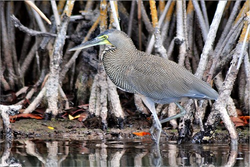 Bare-throated Tiger Heron. Nikon D300s. DSC_1303. | by Robert.Pittman