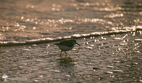 sunset bird beach water nc sand nikon bokeh northcarolina run 300mm coastal sandpiper birdwatching 70300 d600 fortmacon coastalbird