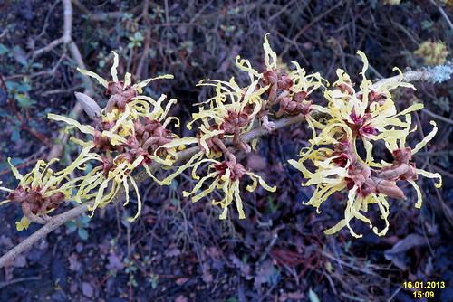 Hamamelis x intermedia (japonica x mollis) 'Pallida' | by davidshort