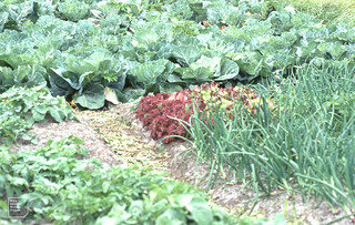 Cabbage, fancy lettuce, onions. Allotment style, Inisheer 2006