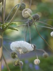 日, 2012-09-23 14:56 - シュウメイギクの実と種 Anemone hupehensis  黒い植物 Gossypium herbaceum 'Nigra' コットンの原種らしい