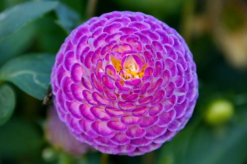 dahlia flower fleur happy europa belgium belgie sony quinta belgica mechelen bloem vrijbroekpark