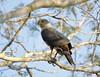 Bicolored hawk/Gavião-bombachinha-grande/Gavilán bicolor  (Accipiter bicolor)1 by Héctor Bottai