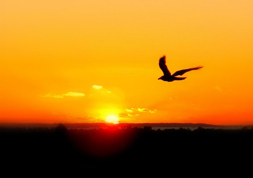 lighting morning sky sun bird nature colors silhouette clouds composition sunrise spectacular landscape freedom golden flying amazing wings focus scenery warm mood colours artistic horizon sydney sunny australia framing tones timing birdinflight warmcolours freedomatsunrise