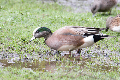 American Wigeon / Anas americana | by peter.lindenburg