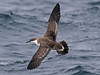 Great Shearwater, Scilly pelagic, 12-Aug-12 by Dave Appleton
