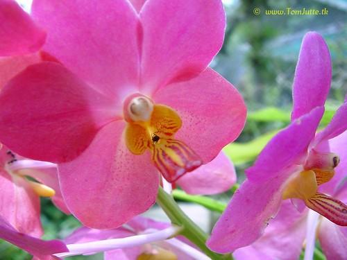 Sainamphung Orchids Farm, Chiang Mai, Thailand - 2993 | by HereIsTom