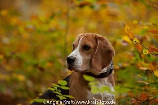 Angela Kraft26102012 Beagle 7 | by Angela Kraft