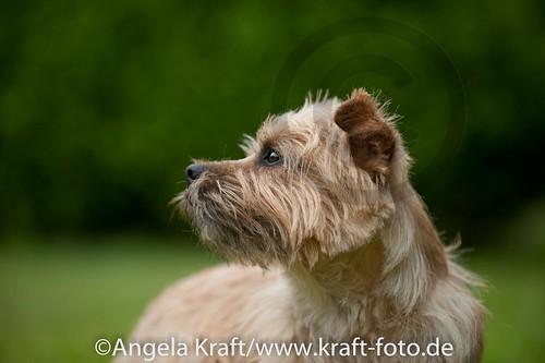 Angela Kraft 15062012 Cairn Terrier 2 | by Angela Kraft