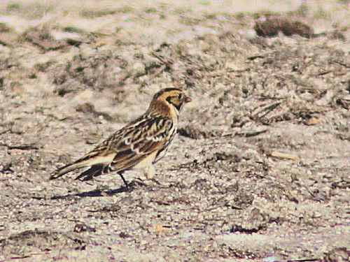 Lapland Longspur 20121031 | by Kenneth Cole Schneider