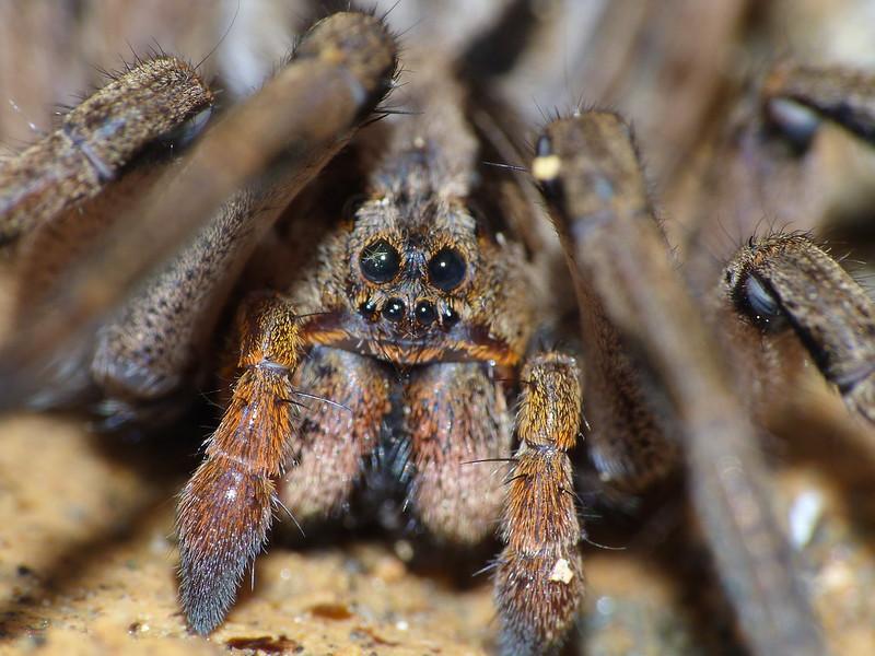 Tarantula Eyes - Ojos de Tarántula