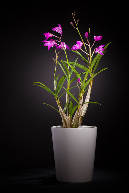 Orchid 9056