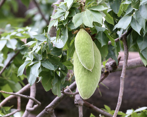 Fruit of baobab - Cream of tartar? | by Lip Kee