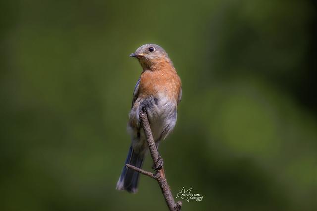 Eastern Bluebird - F