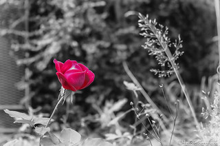 Red Rose 29.09.2012 | by Silbersurfer